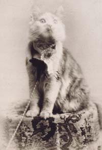 ... dengan nama cosey memenangkan kontes kucing di madi