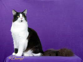 Maine Coon Cat - Cat Fanciers' Association Breed Council