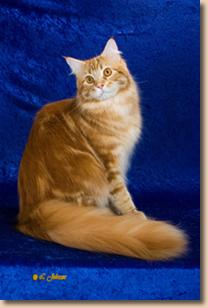 Maine Coon Cat - Cat Fanciers' Association Breed Council